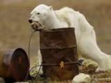 北极熊在垃圾桶寻食生存空间堪忧